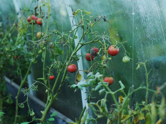 Тепличный комбинат аграрного комплекса «Сады Гиганта» открыли в Новосибирске